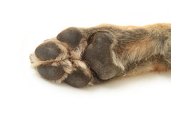 Dog Paw. German Shepherd dog paw upside down on a white background Stock Photos