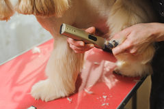 Dog paw grooming. Grooming Purebred American Cocker Spaniel dog. Closeup of trimming paw by Woman groomer. The dog is standing on a red table Stock Photo