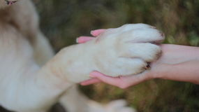 Dog paw in the hand. Asian shepderd Stock Images