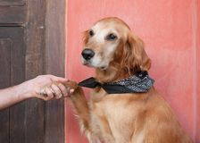 Dog paw. Hand shaking  paw of a golden retriever dog Stock Images