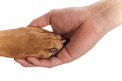 Dog paw in human hand. Dog resting paw in human palm isolated on white background Stock Images
