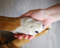 Dog paw and human hand Royalty Free Stock Photo