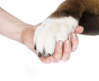 Dog paw and human hand Royalty Free Stock Photography