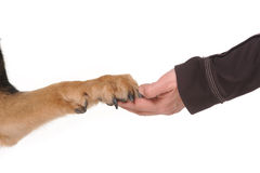 Dog paw and human hand shaking,. Dog paw and human hand shaking isolated on the white background Royalty Free Stock Photography