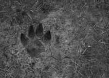Dog paw imprint on soil. Close up view of dog paw imprint on soil royalty free stock photos
