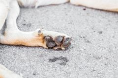 Dog paw with pads Royalty Free Stock Images