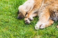 Dog paw with pads Royalty Free Stock Photos
