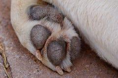 Dog paw Royalty Free Stock Photography
