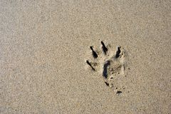 Dog paw print in the beach. Sand royalty free stock photos