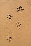Dog paw print in the beach sand. Background traces of a dog on wet sand Royalty Free Stock Image
