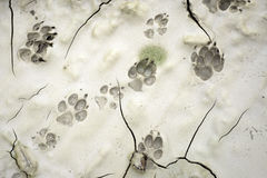 Dog paw print. Close up of dog paw print Royalty Free Stock Photography