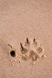 Dog paw print in sand Stock Photography