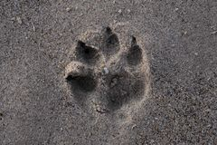 Dog paw print in the sand. A clear paw print of a dog in the sand royalty free stock photo