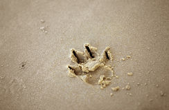 Dog paw print in the sand Royalty Free Stock Photo