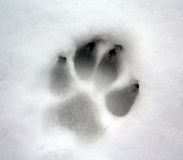 Dog paw print. On snow royalty free stock photos