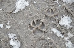 Dog paw printed in frozen mud stock images
