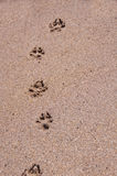 Dog paw prints in the sand. Royalty Free Stock Images