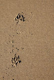 Dog paw prints in sand Royalty Free Stock Photos