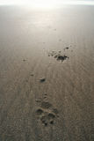 Dog paw prints in sand Stock Image