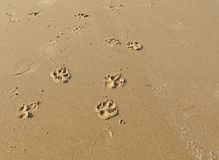 Dog paw prints in the sand on the beach. Dog paw prints and human shoe prints in the sand on the beach stock image