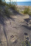 Dog Paw Prints on Sand in Dunes at De Haan, Belgian north sea co Royalty Free Stock Photography