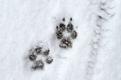 Dog paw print in snow Royalty Free Stock Photography