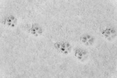 Dog Paw Prints in Snow Stock Image