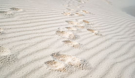 Dog paw prints in the white sand Royalty Free Stock Images