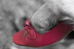 Dog paw in shoe Royalty Free Stock Photo