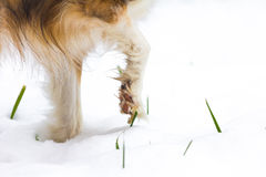 Dog paw in the snow Stock Image