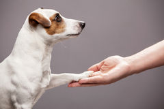 Dog paw takes the man royalty free stock images