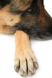 Dog paw on white background Stock Image