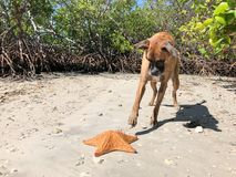 Dog pawing at starfish cushion sea Star on the sand Royalty Free Stock Photos
