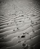 Dog Pawprints in Sand on Provincetown Beach Stock Photo