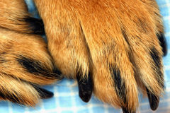 Dog Paws. Closeup of golden brown colored dog paws royalty free stock photography