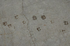 Dog paws animal tracks. Imprinted on concrete surface background Royalty Free Stock Photography