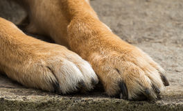 Dog paws close up. The paws of a brown dog in close up Royalty Free Stock Photo