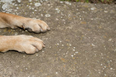 Dog paws. On the concrete, Shar Pei Royalty Free Stock Photo