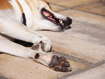 Dog paws (60), focus is on the paw on foreground, head is not in f Royalty Free Stock Image