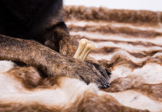Dog paws holding a bone Royalty Free Stock Image