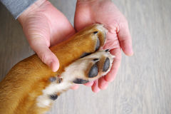 Dog paws and human hand Stock Image