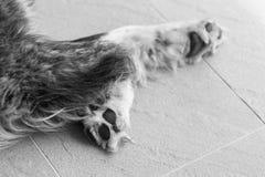 Dog paws macro shot Royalty Free Stock Images