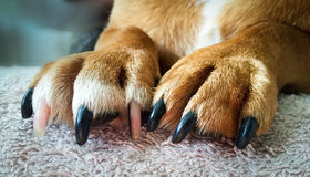 Dog Paws and Nails. Close up of a Jack Russell dog's paws and nails, ready on the table waiting for his manicure stock photo