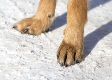 Dog paws on nature in winter. In the park in nature royalty free stock images