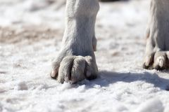 Dog paws on nature in winter. In the park in nature Royalty Free Stock Image