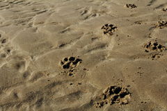 Dog paws. Prints in the sand beach Stock Photos