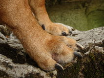 Dog paws Rhodesian ridgeback. In the photo are a dog front paws. A dog rhodesian ridgeback is standing and observing. Photo was made near the river Walchen stock image