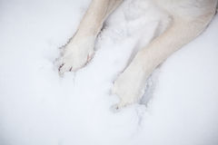 Dog paws in snow Royalty Free Stock Photo