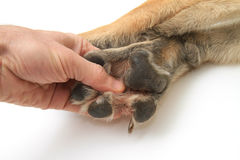 Dog paws on white background Stock Photos