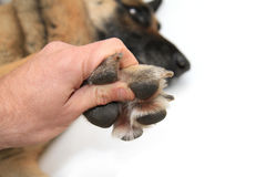 Dog paws on white background Stock Image